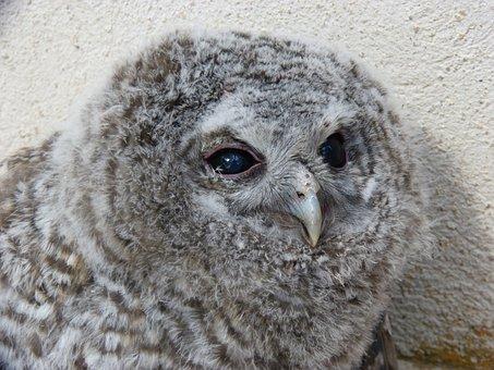 Tawny Owl, Gamarús, Night Bird, Chicken, Down