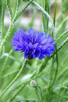 Blueberry, Flower, Plants, Garden, Field, Knapweed