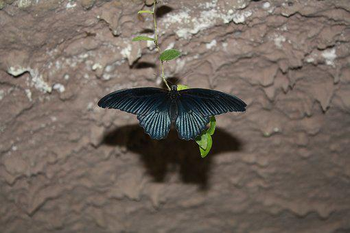 Great Mormon, Butterfly, Insect, Close Up