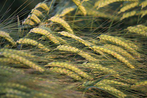 Agriculture, Barley In Wind, Plant, Food, Green, Spring