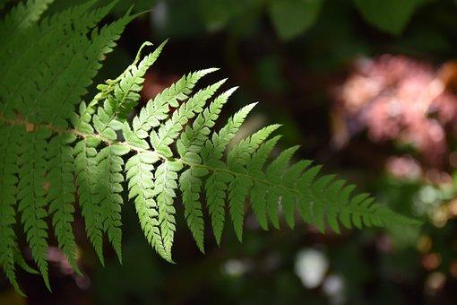 Ferns, Green Plant, Ray Of Light, Light, Nature, Botany