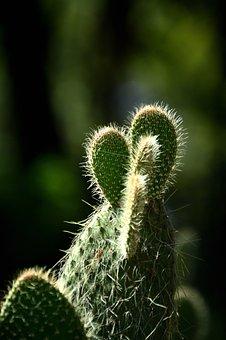 Cactus, Nature, Thorny, Green, Opuntia, Spina, Food
