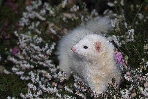 Ferret, Heather, Animal, Mustelidae, Garden