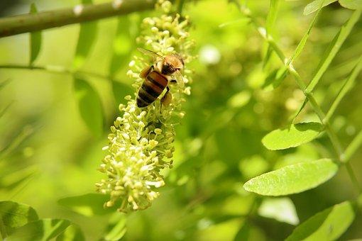 Insect, Bee, Honey Bee, Bees, Honey Locust, Flowers