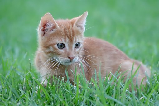 Cat, Small, Red, Mackerel, Grass, Attention, Hunt