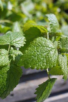 Lemon Balm, Green, Leaves, Herbs, Delicious, Food