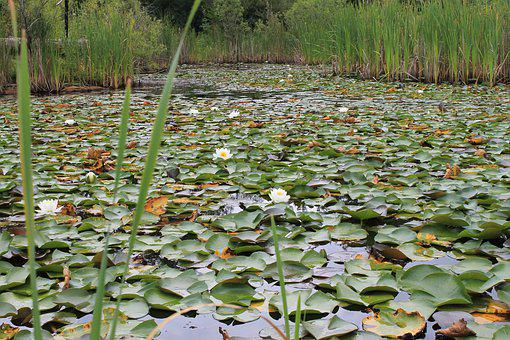 Wetland, Marshland, Pod, Lily Pad, Nature, Water
