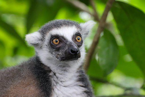 Ring Tailed Lemur, Monkey, Madagascar, Lemur, Primates