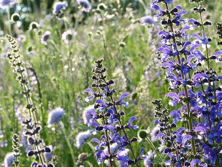 Salvia, Wild Sage, Bloom, Meadow, Wild Flowers