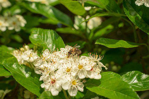 Bee, Wild Bee, Blossom, Bloom, Nature, Insect, Close Up