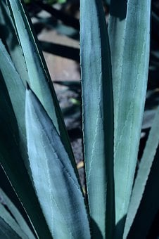 Park, Outdoors, Agave, Plant, Cactus, Succulent, Strong