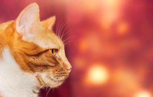 Cat, Pet, Domestic Cat, Animal Portrait, Close Up