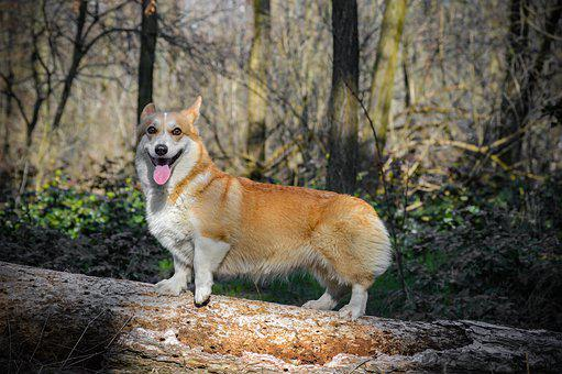 Welsh Corgi Pembroke, Sight, Corgi, Dog, Pet, Animal
