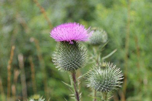 Thistle, Flower, Garde, Nature, Plant, Purple, Bloom