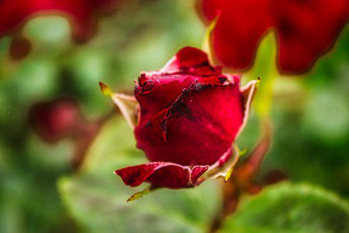 Rose, Flower, Love, Romantic, Nature, Valentine's Day