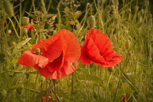 Poppy, Papaver, Grassland Plants, Seeds, Seed Capsules