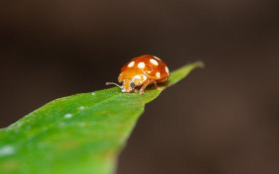Ladybug, Insect, The Beetle, Maybug, Macro, Spring