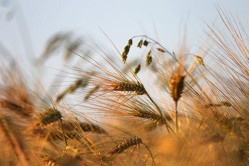 Agriculture, Barley In Wind, Plant, Green, Spring