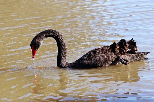 Swan, Bird, Lake, Fishing, Water Drops, Outdoors, Park
