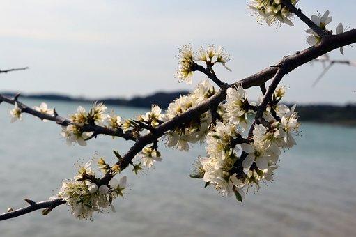 Flower, Cherry, Spring, Tree, Branch, Sea, Landscape