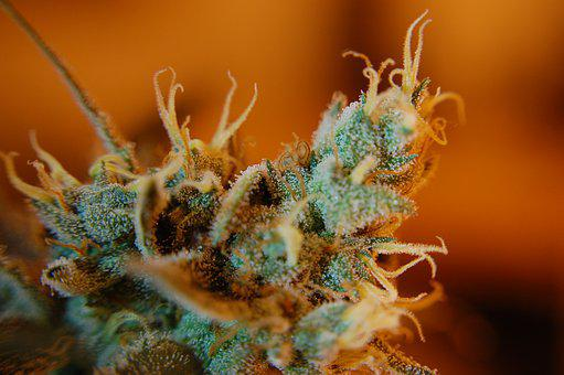 Weed, Trichomes, Ganja, Cannabis, Pot