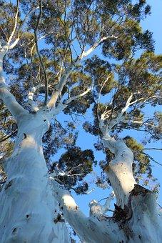 Eucalpytus, Tree, Sky, Bark, Leaves, Up