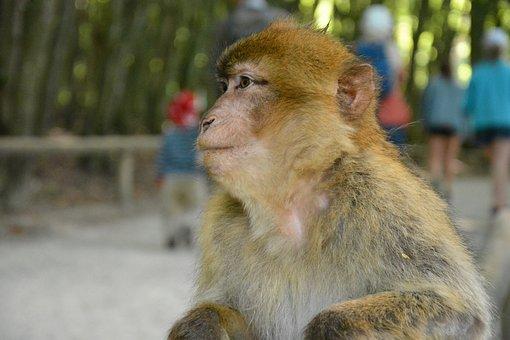 Monkey, Monkey Mountain Salem, Animal, Zoo, Wild Animal