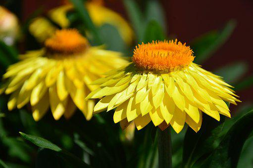 Flower, Yellow, Nature, Bloom, Flora, Garden, Flowers
