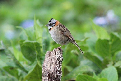 Zonotrichia, Scullion, Bird, Sparrow