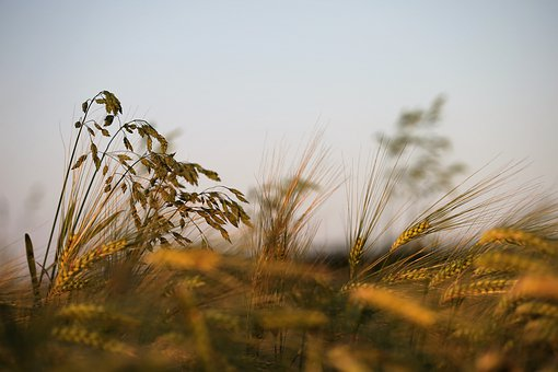 Agriculture, Barley In Wind, Plant, Food, Grass, Green