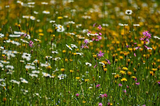 Flowers, Agriculture, Hagertal, Meadow, Green, Austria
