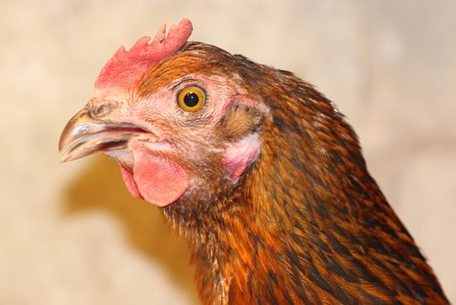Chicken, Hen, Poultry, Free Range, Animal, Agriculture