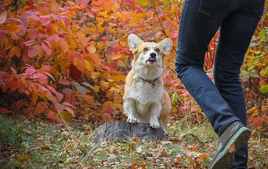 Corgi, Dog, Autumn Leaves, Pet, Animal, Cute, Doggy