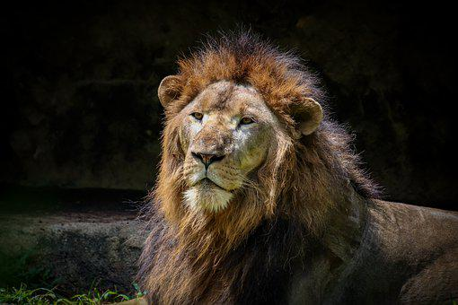 Lion, Predator, Cat, Zoo, Animal, Fur, Mane Large