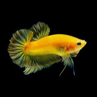 Betta Fish Yellow, Water, Aquarium, Nature, Animal