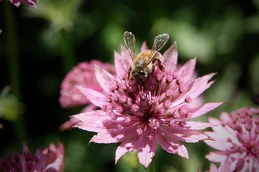 Insect, Bee, Honey Bee, Blossom, Bloom, Masterwort