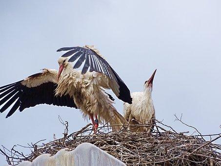 Stork, Nature, Bird, Plumage, Animal, Rattle Stork