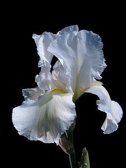 High Beard Iris, Iris, Blossom, Bloom, Close Up, Flower