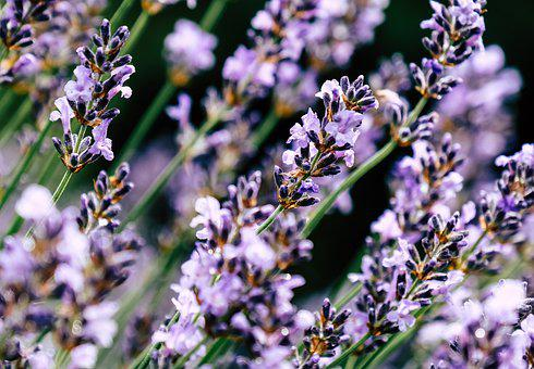Plant, Violet, Halme, Nature, Blossom, Bloom, Purple