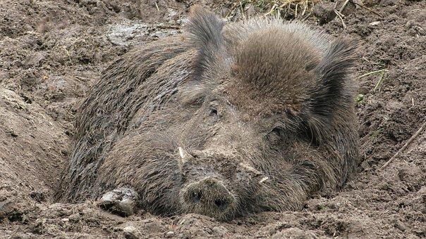 Boar, Wild Boar, Bristles, Sow, Mud, Snout