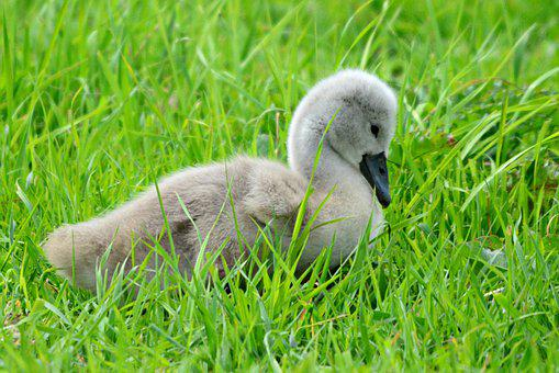 Cygnet, Swan, Waterbird, Young, Chick, Down, Fluff