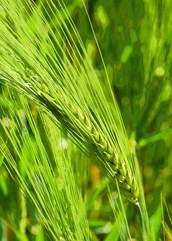 Nourishing Barley, Maturity Time, Early Summer, Green