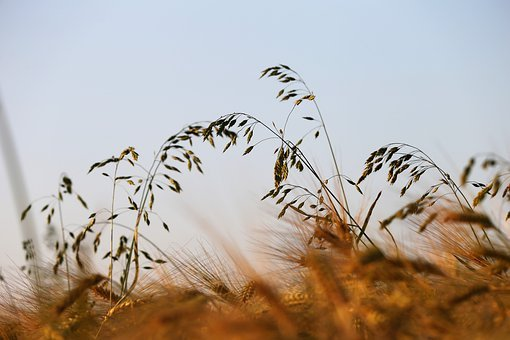Grass In Wind, Barley Field, Spring, Evening, Nature