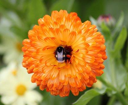 Flower, Bee, Orange, Bright, Bloom, Eden, Marigold
