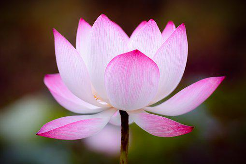 Lotus, Flower, Nature, Pink, Pond, Blossom, Peace