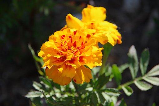 Marigold, Flower, Bloom, Orange, Spring, Summer