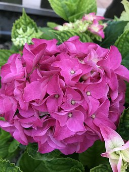Hydrangea, Fuxia, Flower, Nature, Garden, Flowers