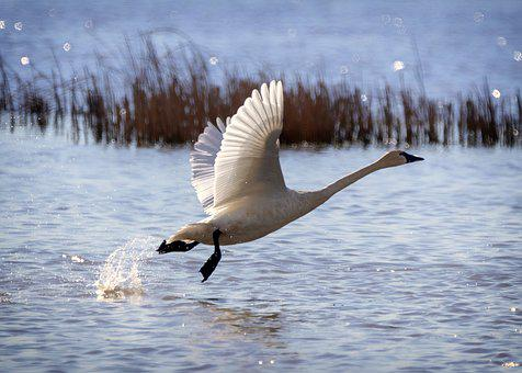 Flying Birds, Flying Bird, Motion, Water, Nature