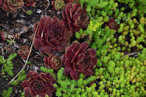 Succulents, Plants, Garden, Nature, Green, Purple