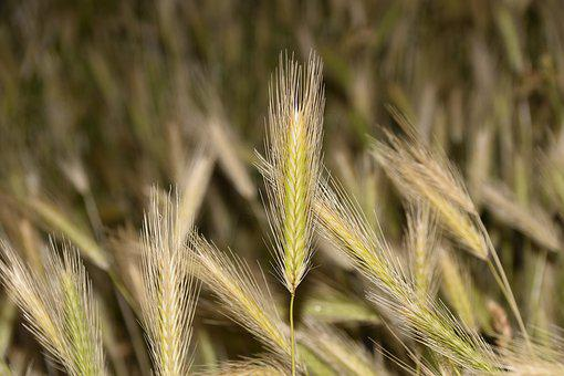 Wheats, Cultivation Of Cereals, Harvest, Plants